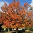 楓(フウ)の紅葉がきれいでした!