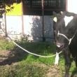 『牛がおるっ!』
