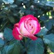 2018春薔薇 2