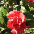 桃プラムの花と赤の椿