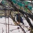 野鳥、デジタルカメラから