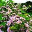 『季節の花』 紫苑
