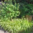 エリア2のクチナシの鉢植え