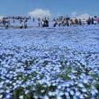 ひたち海浜公園のネモフィラ 空も花も海もブルー