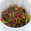 265号 夢の島熱帯植物館。購入、食虫植物。サルスベリ'夏まつり'。
