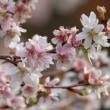 冬桜のみた夢