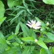 山野草の花が