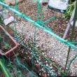 11月18日・スナックエンドウ植え付けしました。
