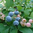 今朝、ブルーベリーを収穫しました