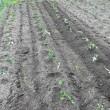今年の田植え体験