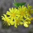 秋丁字と黄色の野草
