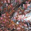 桜前線  上陸!