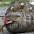 ヘビが羊を丸呑み!