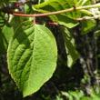 高ボッチ高原・鉢伏山で最近咲いている花 ノリウツギ(糊空木)