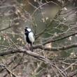 シジュウカラと言う野鳥