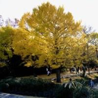 昭和記念公園 イチョウ並木・・4