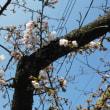 お山の桜が咲きました
