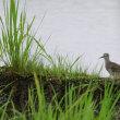 畦の陰にいたよ、タカブシギ。