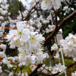 淡いピンク「モモザクラ」見ごろ 京都・平野神社