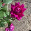京阪園芸初訪、記念バラは<リベルラ>