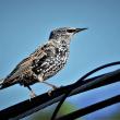 今日の野鳥  アカショウビン ・ オオマシコ ・ コミミズク ・ ホシムクドリ ・ ウミアイサ ・ アネハズル