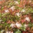 【大雪山国立公園・旭岳情報】少しづつ赤くなり始めました