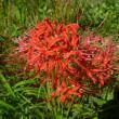 佐波川土手の彼岸花 綺麗に咲いています。