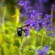 2017 秋に追われるように花から花へとマルハナバチ 2 (直方市 のおがた福地山ろく花公園)