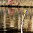 今日の野鳥   カワセミ