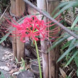 ヒガンバナが咲いていました