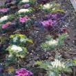 花いっぱい・冬の葉牡丹