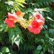 燃ゆる夏の花 凌霄花