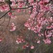 弥生花、阿亀桜