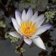 美しい睡蓮の姿