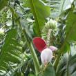 バナナの花、初めてみました。(2018年5月27日撮影)