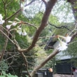 東慶寺 野葡萄見頃、竜胆も咲く