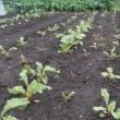 ビーッ栽培はじめました 北乃菜園