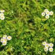 ほら、ヒメジョオンはすべて奇数の5つの花になって咲いているでしょう。(Photo No.14337)
