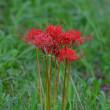 土手では、マンジュシャゲの花が鮮やかだった。