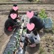 畑、ブロッコリー、レタス、スノークラウン植付け