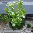 庭のヤマボウシと常緑ヤマボウシ