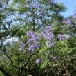 エキゾチックな花 ジャカランダ