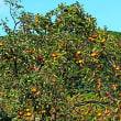 『晩秋の色』 柿の実