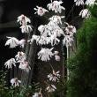 淡いピンクの姫こぶしの花と水仙「オーラフリル」