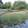 蒲の穂が出始めた。(cattail spike) ,県立三木山森林公園