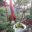 モッコウバラの植え付け