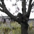 中書島の桜