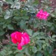 福岡市植物園・・・・・バラ園