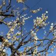 今日と明日 高尾梅郷梅祭りやってます