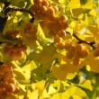北大の銀杏並木にも黄葉&紅葉!